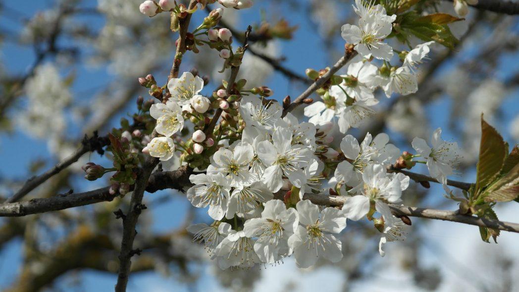 obstbaumblüten | Gartenbau Hussl