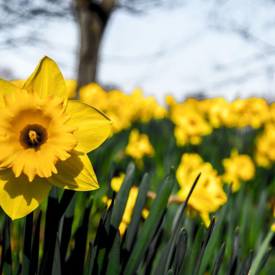 Narzissen sind Frühlingsboten. Bild: zemzu - pixabay.com