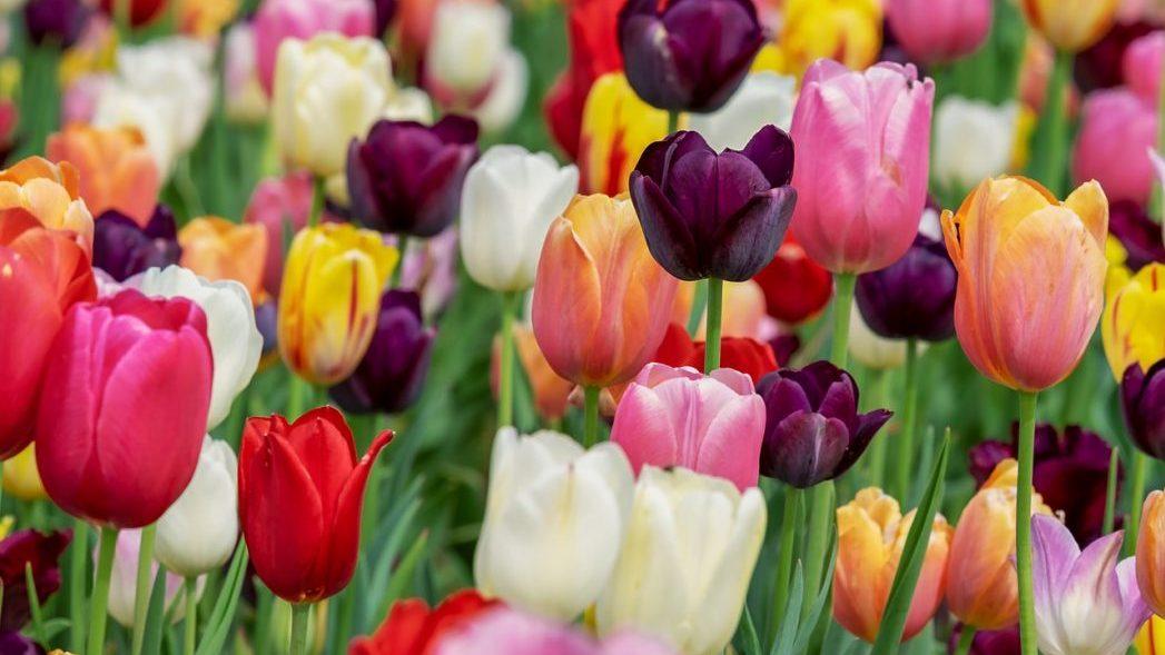 Die Tulpen blühen - der Frühling ist da.