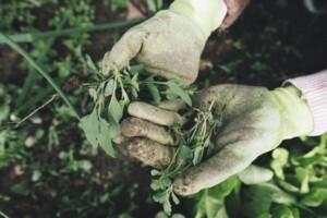 Um Unkraut zu entfernen, muss man die Pflanzen mit samt Wurzeln erwischen.