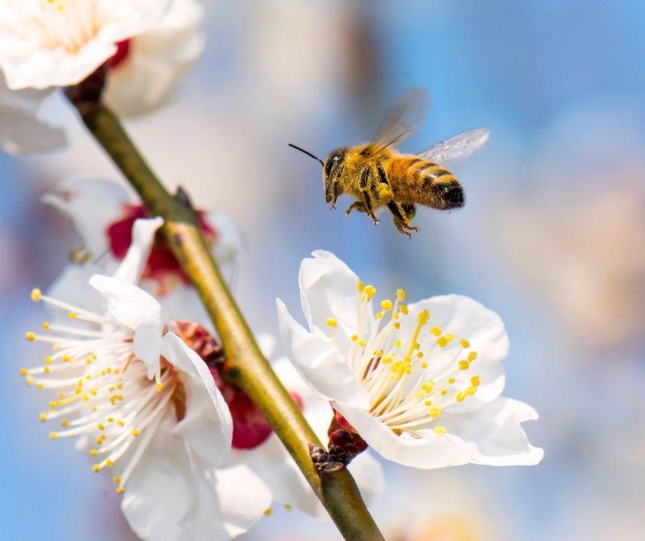 Biene, die einen Marillenbaum im Garten anfliegt
