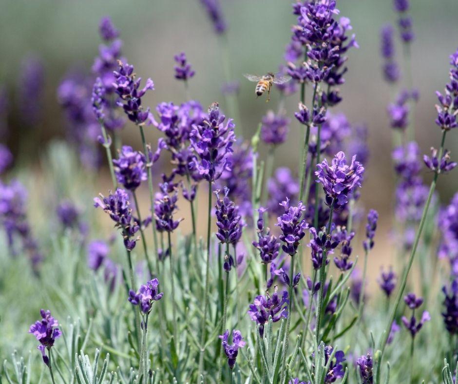 Biene fliegt auf blühenden Lavendel in bienenfreundlichem Garten zu.
