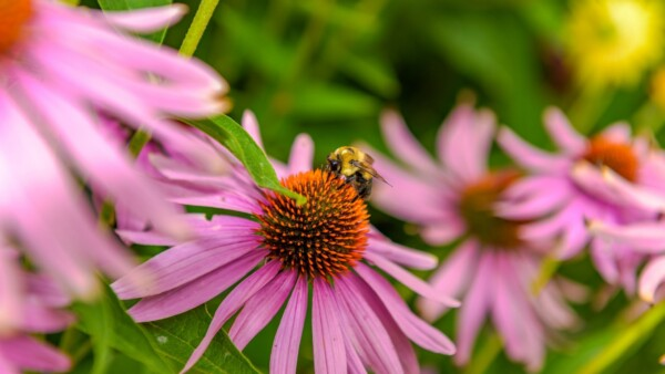 Biene saugt Nektar von einer rosa Blume im bienenfreundlichen Garten
