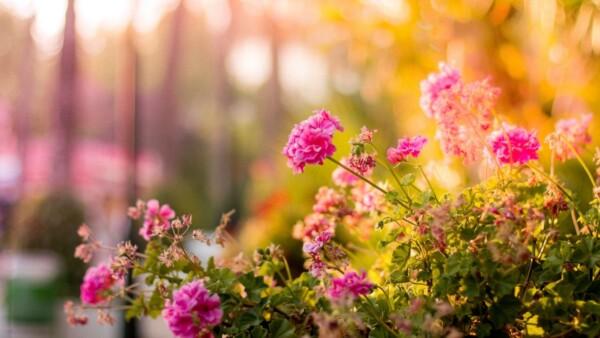 Das Bild zeigt rosa Blumen
